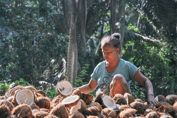 Old woman arrange coconuts on a wooden platform before smoke them during the process of producing copra in Midai Island, Indonesia on September 8, 2015. Copra become the second higest income for the island residents after clove.