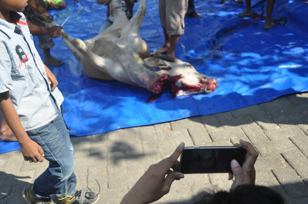 An Indonesian takes photo of a slaughtered cow during Eid al-Adha celebration in Makassar, Indonesia on September 24, 2015. Indonesian Muslims celebrated Eid al-Adha to commemorate the Prophet Ibrahim's readiness to sacrifice his son as a sign of his obedience to God, during which they sacrifice permissible animals, generally goats, sheep, and cows.