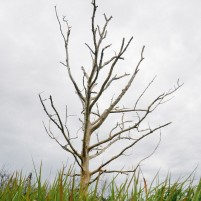 Sebatang pohon tak berdaun di Pulau Galang.