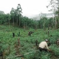 Seorang warga membersihkan lokasi kebun karet miliknya di desa Lombozaua, Nias Utara.