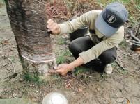 Pemilik kebun karet menderes getah dari sebatang pohon karet di desa Lombozaua, Nias Utara.