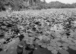 Kolam rekreasi yang sudah dipenuhi teratai di Sekupang.